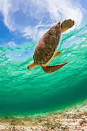 """""""Turtle In The Sky (With Diamonds)"""" - Spotts Beach, Grand Cayman"""