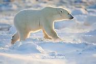 01874-11914 Polar Bear (Ursus maritimus) in snow, Churchill Wildlife Management Area, Churchill, MB Canada