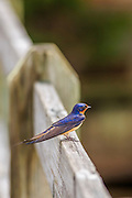 Barn Swallow  resting on a  fence railing in Corolla North Carolina.