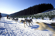 DEU, Germany,  dog sled race in Winterberg, Sauerland, Siberian Huskies.....DEU, Deutschland, Schlittenhunderennen in Winterberg, Sauerland, Sibirische Huskies.........