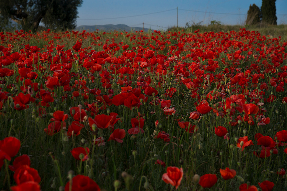 A beautiful field of spring poppies, photographed in Spain. These were shot in April 2015 on the Costa Blanca near Benimarco and Benissa, close to Javea, Moraira, Teulada and Benitachell.
