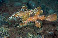 A pair of Roughsnout Ghostpipefish<br /> <br /> Shot in Indonesia