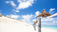 Common Noddies (Anous stolidus) perched on a rope fence at Michaelmas Cay, Great Barrier Reef, Australia