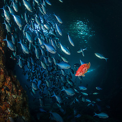 Blue Maomao Arch, Poor Knights Islands Red Pig fish