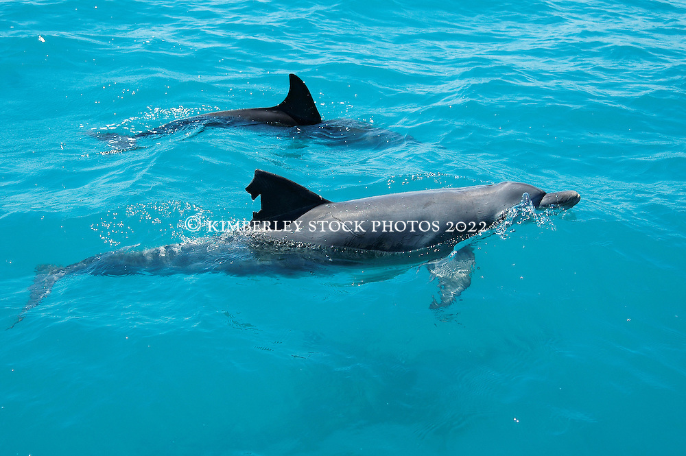 """Scarfin"" a resident Bottlenose dolphin in Deception Bay, Camden Sound.  The injury may have been caused by a propellor strike, shark bite or fishing line."