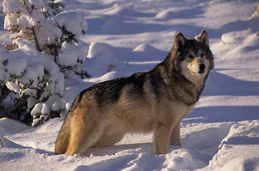Gray Wolf, (Canis lupus) Adult. Winter. Montana.  Captive Animal.