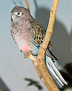 """The Bourke's Parrot (Neopsephotus bourkii, formerly known as Neophema bourkii), also known as the Bourke's Parakeet or """"Bourkie"""", is a small parrot originating in Australia and the only species in its genus Neopsephotus. This grass parrot is named after General Sir Richard Bourke, Governor of New South Wales from 1831 to 1837. Bird photographed in Woodland Park Zoo, Seattle, Washington."""