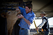 Brunette Downs Cattle Station is situated on the Barkley tablelands in Australia's Northern Territory. One of Australia's largest cattle stations..Jack Greaney checks the age of the cattle separating the animals in the drafting yard Bec Downie looks on.