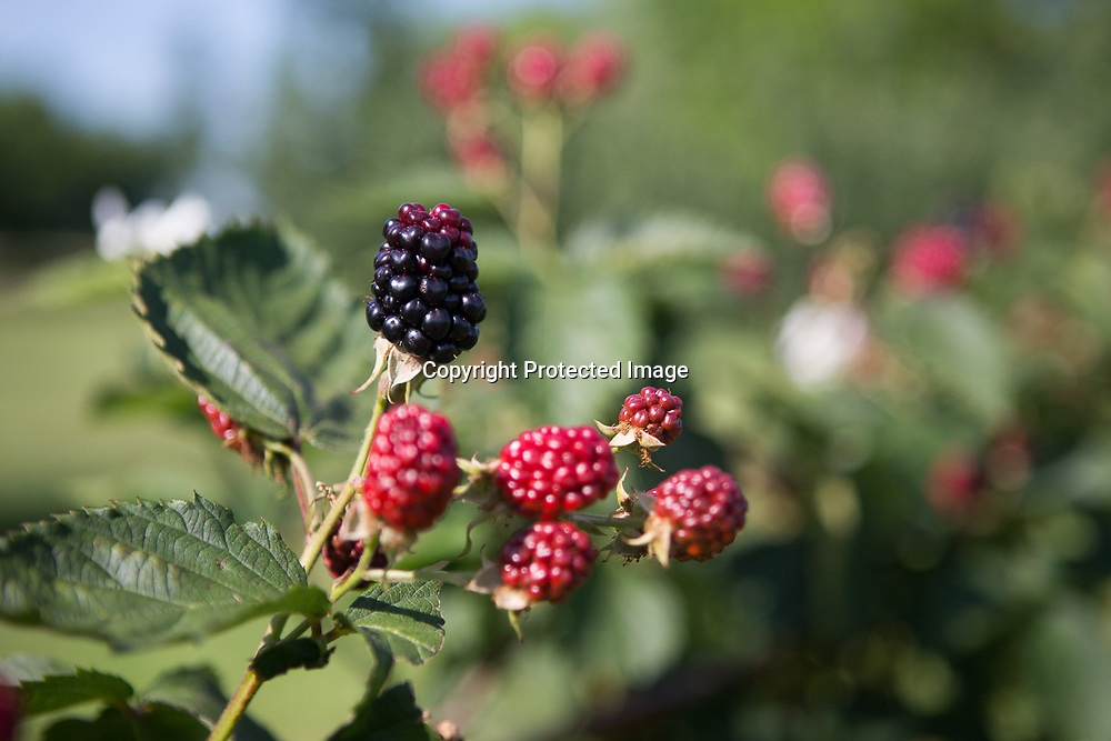 Blackberries start to ripen at Cherry Creek Orchards in Pontotoc.