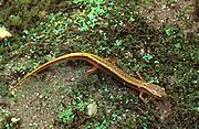 Two-lined Salamander; Eurycea bislineata; PA, Philadelphia