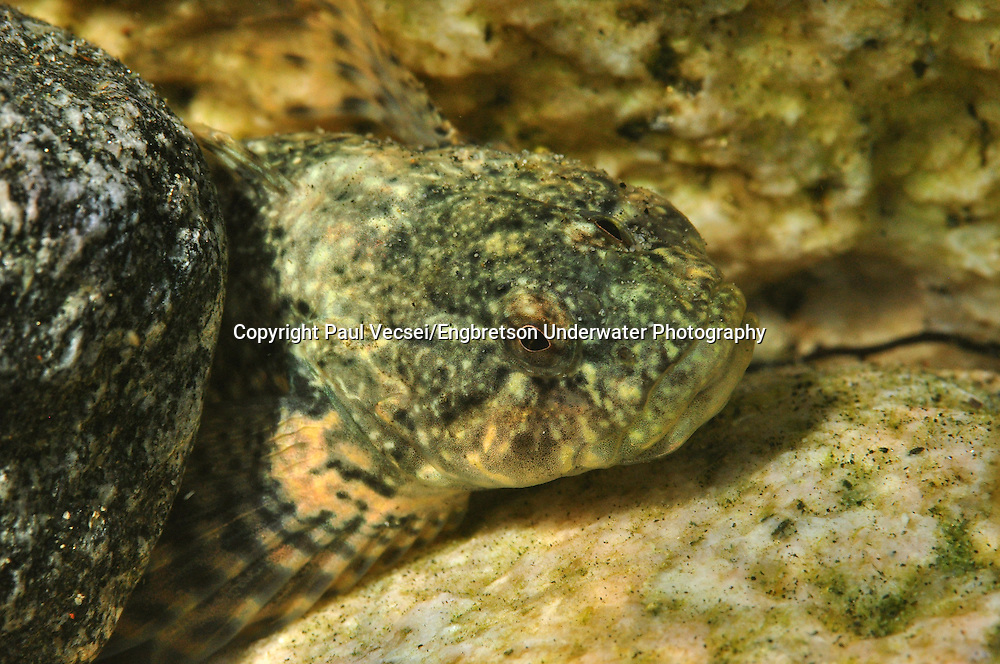 Coastrange Sculpin<br />