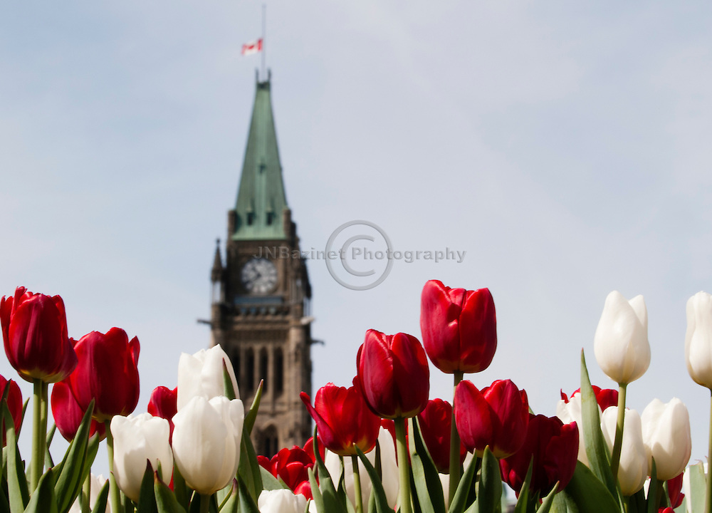 The tulips in Ottawa, Canada bloom plentiful during this annual festival; shown here with the Parliament's Peace Tower in the background.
