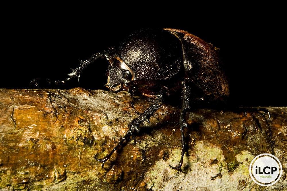 Stag Beetle (Odontolabis sp), Tawau Hills Park, Sabah, Borneo, Malaysia