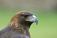 Golden eagle portrait Aquila chysaetos