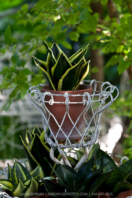 Sansevieria plants in decorative terra cotta flower pots in a white wire stand.