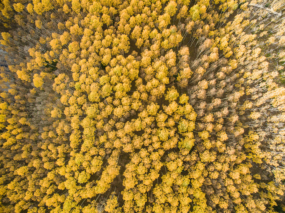 Straight-down aerial view of fall aspen trees in Aspen, Colorado.
