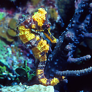 Longsnout Seahorse inhabit areas of sand and rubble attaching to gorgonians, seagrass and other holdfasts in Tropical West Atlantic; picture taken Little Cayman.