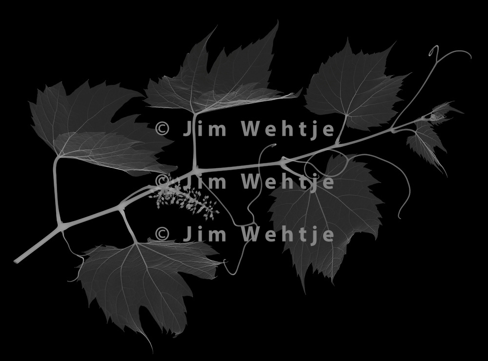 X-ray image of a wild grape vine (Vitis sylvestris, white on black) by Jim Wehtje, specialist in x-ray art and design images.