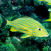 Bluestripe Grunt inhabit reefs in Tropical West Atlantic; picture taken Key Largo, FL.