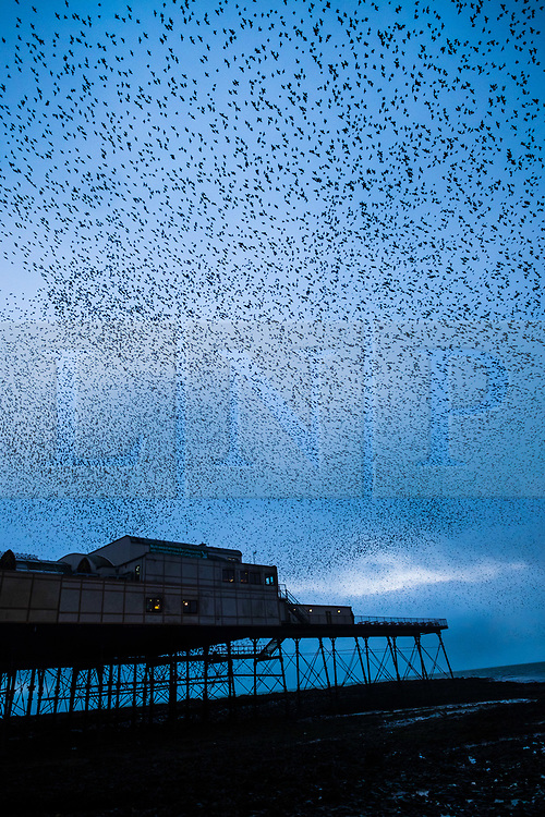 © Licensed to London News Pictures. 5/12/2017. Aberystwyth, Wales, UK. On a grey damp evening in Aberystwyth  thousands of starlings fill the sky as they swoop in co-ordinated 'murmurations' around and above the pier before descending to settle in chattering masses on the legs of the town's Victorian era seaside attraction .Photo credit: Keith Morris/LNP