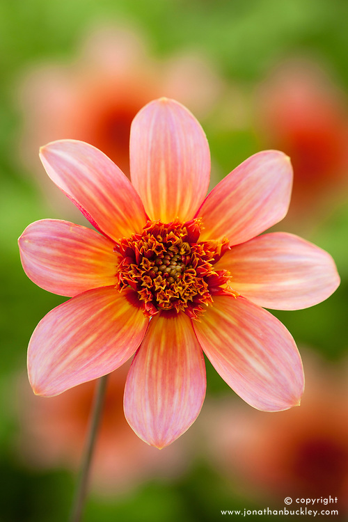 Dahlia 'Totally Tangerine'
