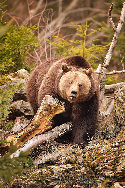 The brown bear (Ursus arctos) is a large bear distributed across much of northern Eurasia and North America. Adult bears generally weigh between 100 and 635 kg (220 and 1,400 lb). Its largest subspecies, the Kodiak bear, rivals the polar bear as the largest member of the bear family and as the largest land-based predator.