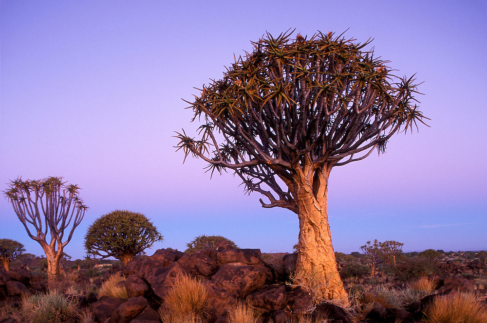 Africa, Namibia, Keetmanshoop, Evening twilight lights Quiver Tree (Aloe dichotoma) in Kokerboomwoud (Quiver Tree Forest)