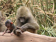 Olive Baboon (Papio anubis), also called the Anubis Baboon Mother interacting with young Photographed at Serengeti National Park, Tanzania