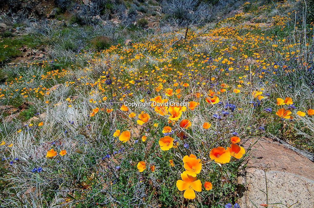 Wildflower season in the desert hills above Cave Creek, Arizona.