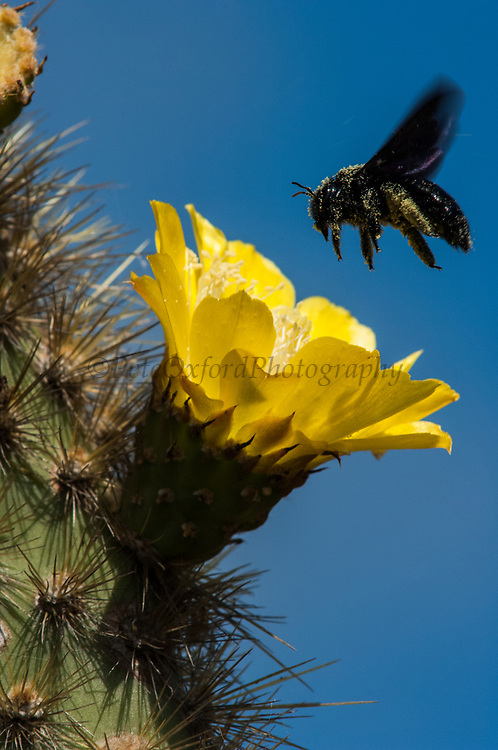 Carpenter Bee female (Xylocopa darwini) on Opuntia Cactus flower.<br /> Alcedo Volcano, Isabela Island<br /> Galapagos Islands<br /> ECUADOR.  South America