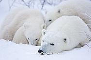 01874-11702 Polar Bears (Ursus maritimus) female and 2 cubs, Churchill Wildlife Management Area,  MB