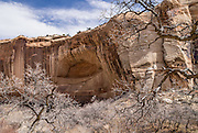 In early spring, leafless trees and desert varnish frame a royal arch in canyon walls along Lower Calf Creek Falls trail in Grand Staircase Escalante National Monument, Utah, USA. Manganese-rich desert varnish requires thousands of years to coat a rock face that is protected from precipitation and wind erosion. The varnish likely originates from airborne dust and external surface runoff, including: clay minerals, oxides and hydroxides of manganese (Mn) and/or iron (Fe), sand grains, trace elements, and usually organic matter. Streaks of black varnish often occur where water cascades over cliffs, but wind doesn't sculpt its shape. Varnish color varies from shades of brown to black. Manganese-poor, iron-rich varnishes are red to orange, and intermediate concentrations are shaded brown. Manganese-oxidizing microbes may explain the unusually high concentration of manganese in black desert varnish, which can be smooth and shiny where densest. Hike Lower Calf Creek Falls trail 6 miles round trip (600 feet gain). Directions: From the town of Escalante, drive 15 miles east on Scenic Byway 12 to Calf Creek Recreation Area day-use parking and campground.