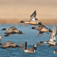 courtship flight, northern pintail ducks courtship flight