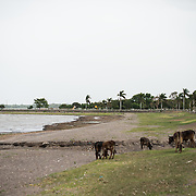Cattle and horses graze along the beach next to Calle La Calzada in Granada, Nicaragua.