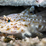 Slender Sandgoby (Fusigobius gracilis) watching over a clutch of eggs hanging from the ceiling of an extremely narrow burrow. The silver reflection from the eggs are the eyes of the embryonic fish. The goby was about 4cm in length, the burrow at 15m depth.