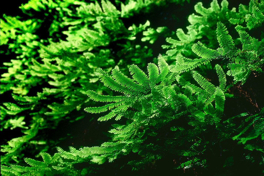 Sanjay ach, evergreen fern native to the Pacific Northwest, it thrives in moist shady forests. They are ancient plants that developed before flowering plants.