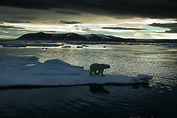 Polar bear (Ursus maritimus) on ice in Hinlopen, Svalbard