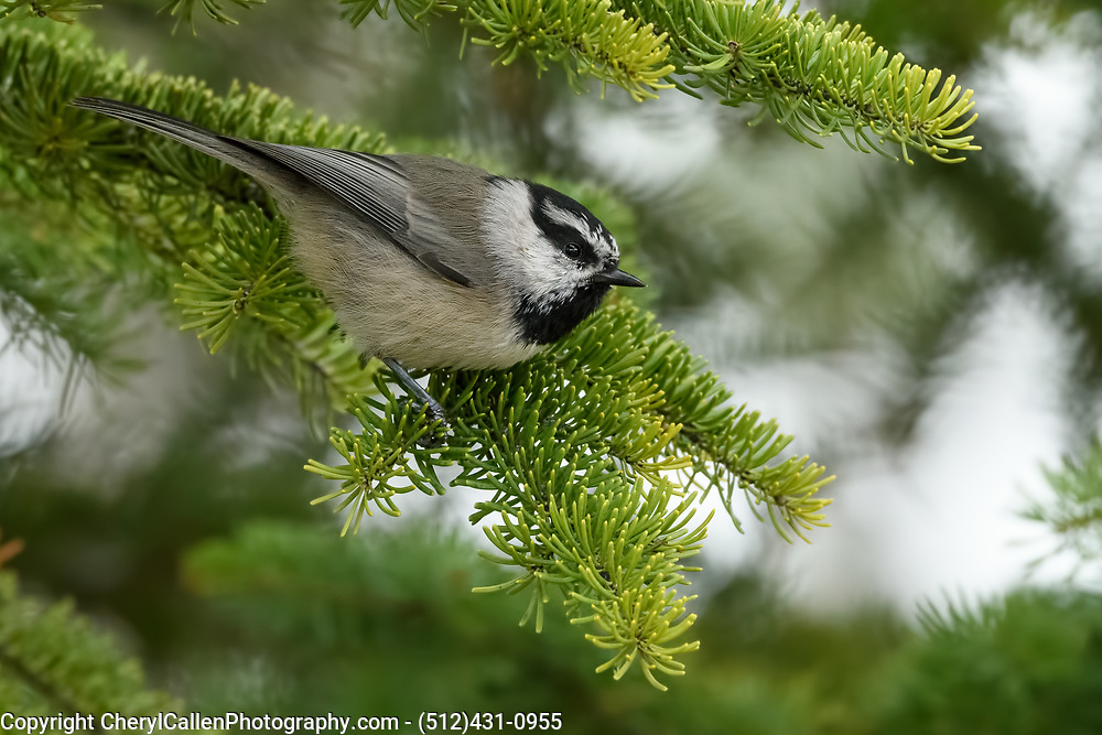 Mountain Chickadee on a tree branch