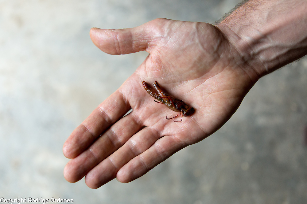 Detail of a fried grasshopper on the palm of a hand. Grasshoppers are considered a delicacy and regularly eaten in certain parts of Java, Indonesia.