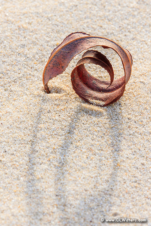 A close-up of a willow leaf blown into the sand on Jockey's Ridge State Park.