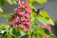 Photo hummingbird, pink flowers, matted print, wall art. California nature, garden, photography. Santa Monica, Westside, Venice, Los Angeles, Fine art photography limited edition.