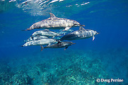 pod of Hawaiian spinner dolphins or Gray's spinner dolphin or long-snouted spinner dolphin, Stenella longirostris longirostris, Kaupulehu, Kona Coast, Big Island, Hawaii ( Central Pacific Ocean )