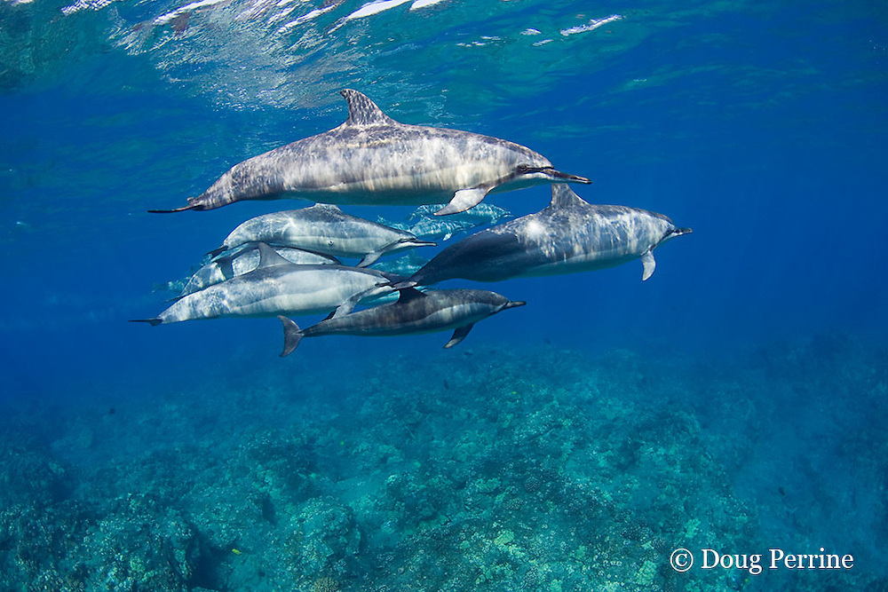 pod of Hawaiian spinner dolphins or Gray's spinner dolphin or long-snouted spinner dolphin, Stenella longirostris longirostris, Kaupulehu, Kona Coast, Big Island, Hawaii ( Central Pacific Ocean )