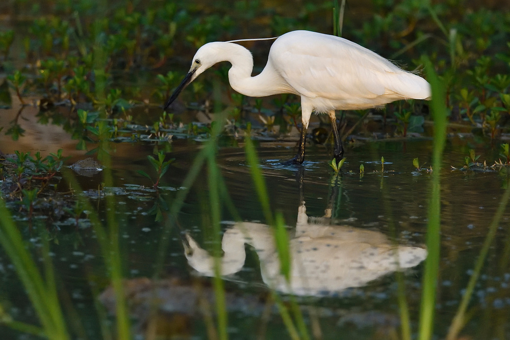 Little Egret, Egretta garzetta, wading through the lake and searching for food, East Lake Greenway park, Wuhan, Hubei, China