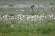 A female european roe deer (rådjur, Capreolus capreolus) is slowly approaching her young kid hidden in the long grass. It's a late summer evening at Vombs angar in southern Sweden.<br /> May 2004.