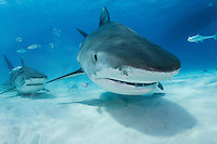 Doubling up on curious Tiger Sharks<br /> <br /> Shot in Bahamas