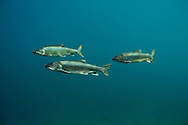 Group of Lake Trout<br />