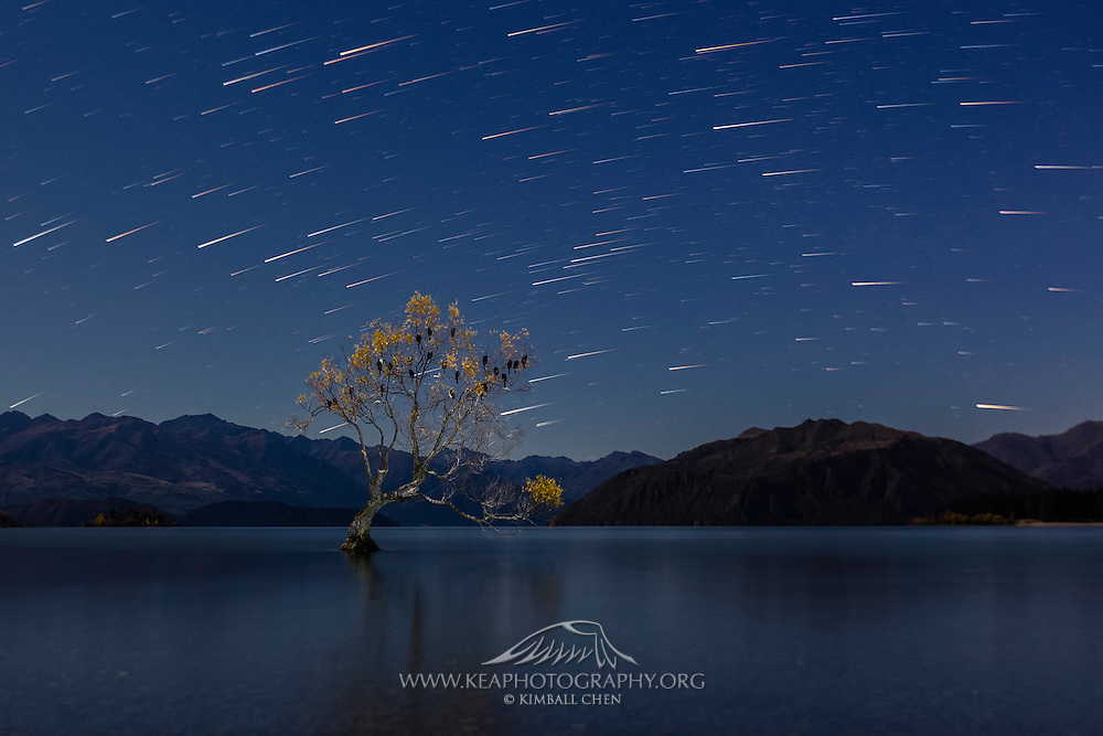 A group of shags roost in a willow tree in Lake Wanaka under a canopy of stars.  Central Otago, New Zealand.
