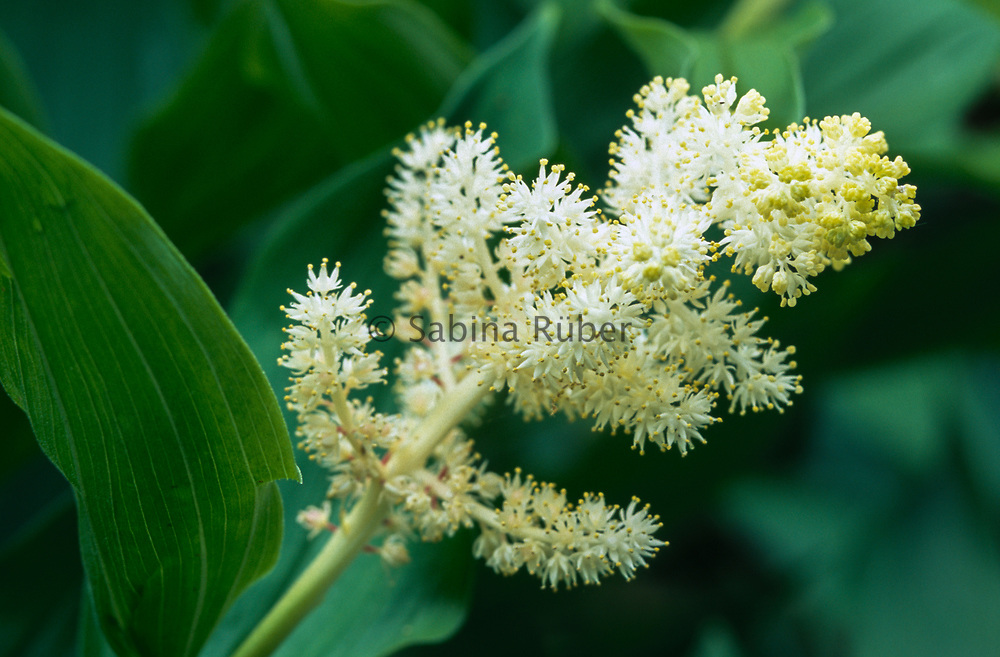 Smilacina racemosa - Solomon's plume