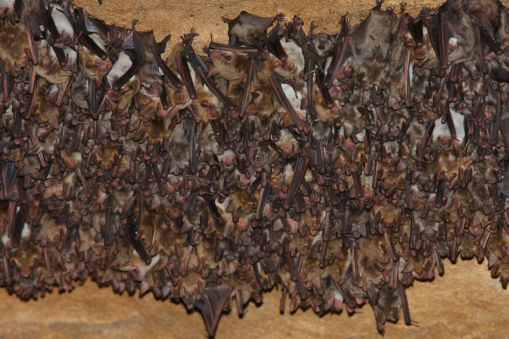 Colony of Lesser Mouse-eared Bat in caves on Bagerova Steppe, Kerch Peninsula, Crimea, Ukraine